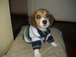 Chien Batuke - Beagle Mâle (9 mois)