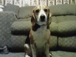 Chien Freckles - Beagle Mâle (3 ans)