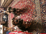 Chien Dominolov - Beagle Femelle (2 ans)