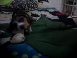 Chien dalton - Beagle Mâle (3 mois)