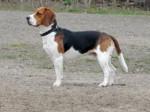 Chien Loki - Beagle Mâle (0 mois)