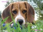 Chien Lola - Beagle Femelle (6 mois)