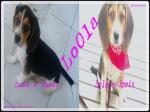 Chien Lola - Beagle Femelle (3 mois)