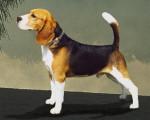 Chien nugget - Beagle Femelle (2 ans)