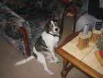 Chien ludo - Beagle Femelle (4 ans)
