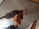 Chien Max - Beagle Mâle (2 ans)