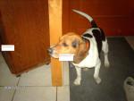 Chien milou - Beagle Mâle (1 mois)