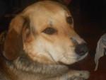 Chien Fa - Beagle Mâle (2 ans)