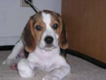 Chien Mira - Beagle Femelle (3 mois)