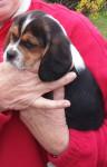 Chien Benjie - Beagle Mâle (2 mois)