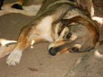 Chien Izou - Beagle Femelle (2 ans)