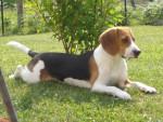 Chien beagle bulle - Beagle  ()