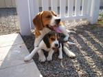 Chien Beagle     Urgo & Bulle - Beagle  (0 mois)