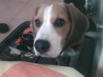 Chien Petit beagle.Biggie - Beagle  (0 mois)