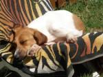 Chien Beagle, Caline - Beagle  (0 mois)