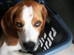 Chien Beagle Czerny - Beagle  (0 mois)