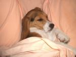 Chien BEAGLE CASSY 3 MOIS - Beagle  (3 mois)