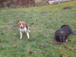 Chien BEAGLE CASSY 5 MOIS - Beagle  (5 mois)