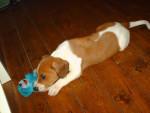 Chien beagle creasy - Beagle  (0 mois)