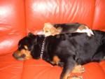 Chien beagle élite - Beagle  (0 mois)