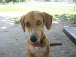 Chien beagle X lévrier nommée Altesse - Beagle  (0 mois)