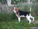 Chien beagle gipsy - Beagle  (0 mois)