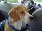 Chien Winnie beagle femelle 8 mois - Beagle  (8 mois)