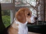 Chien Winnie femelle Beagle a un an - Beagle  (0 mois)