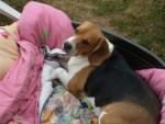 Chien Freesbi 2 ans et demi - Beagle  (2 ans et demi)