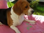 Chien Freesbi Beagle 2 ans et demi - Beagle  (2 ans et demi)