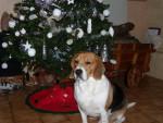 Chien Freesbi nous souhaite un joyeux noël - Beagle  (0 mois)