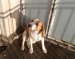 Chien D\'jo - Beagle  (0 mois)