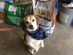 Chien Piper - Beagle Femelle (12 ans)