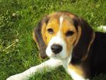 Chien Le Beagle - Beagle  (0 mois)