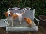 Chien  - Beagle  (0 mois)