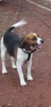 Chien Max - Beagle Mâle (3 ans)