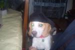 Chien Clifford - Beagle Mâle (2 ans)