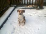Chien ulysse - Beagle Mâle (1 an)