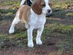 Chien Chanel - Beagle Femelle (2 ans)
