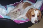 Chien Douchka et ses BB - Beagle Femelle (0 mois)