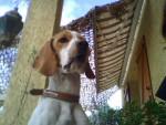 Chien Lefky - Beagle Femelle (2 ans)