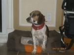 Chien Rocky - Beagle Mâle (2 ans)