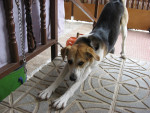 Chien Laika - Beagle Femelle (11 mois)