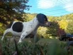 Chien Samuel - Beagle Mâle (10 mois)