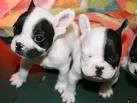Chien LOUNA - Beagle Femelle (1 mois)