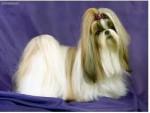 Chien sunshine - Beagle Femelle (2 mois)