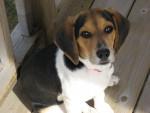 Chien princesse - Beagle Femelle (2 ans)