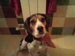Chien Bufa - Beagle Femelle ()