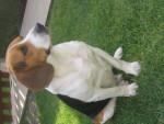 Chien tempo - Beagle Mâle (7 ans)