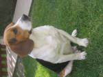 Chien Louli - Beagle Mâle (6 mois)